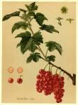 Ribes vulgare-1
